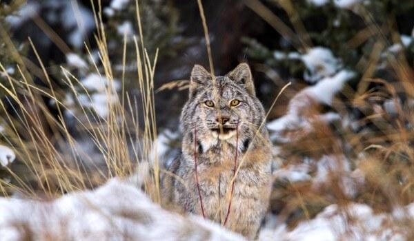 Фото: Канадская рысь в природе