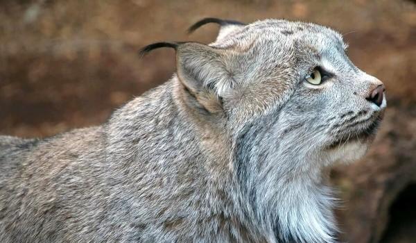 Фото: Канадская рысь из Красной книги