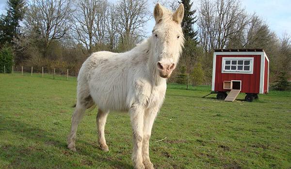 Фото: Белый лошак