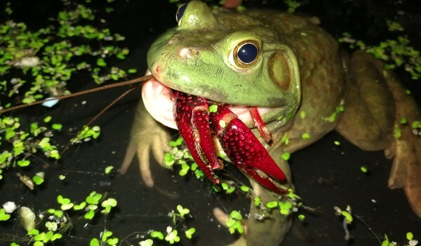 Фото: Гигантская лягушка-голиаф