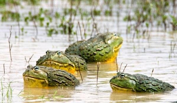 Фото: Лягушка-голиаф в воде