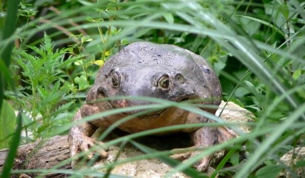 Фото: Большая лягушка-голиаф