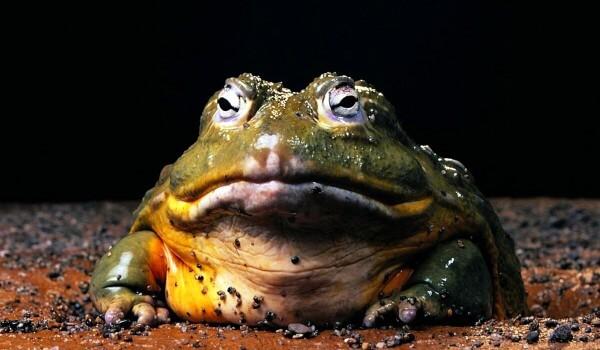 Фото: Лягушка-голиаф
