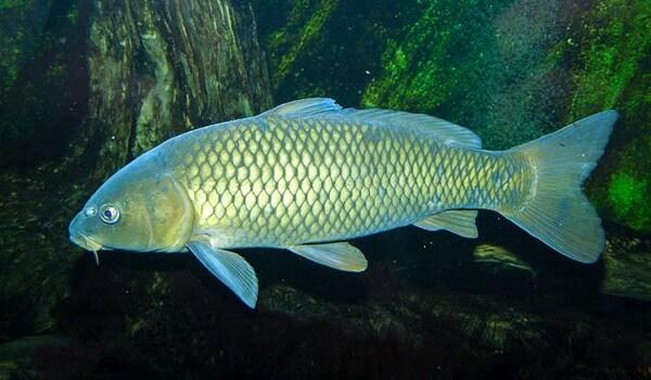 Фото: Рыба сазан
