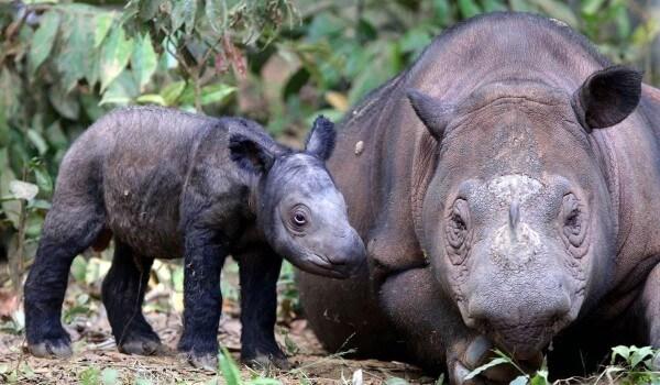 Фото: Детеныш суматранского носорога