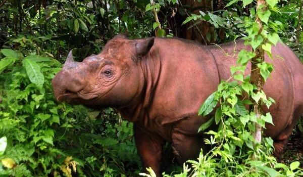 Фото: Суматранский носорог в природе