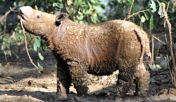 Фото: Маленький суматранский носорог