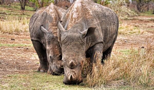 Фото: Суматранский носорог из Красной книги