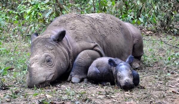 Фото: Суматранский носорог
