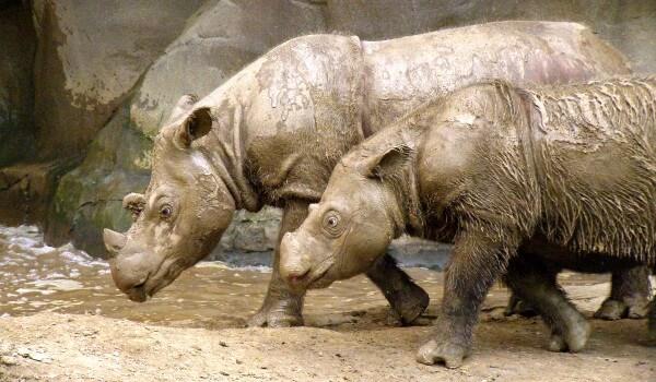 Фото: Пара суматранских носорогов