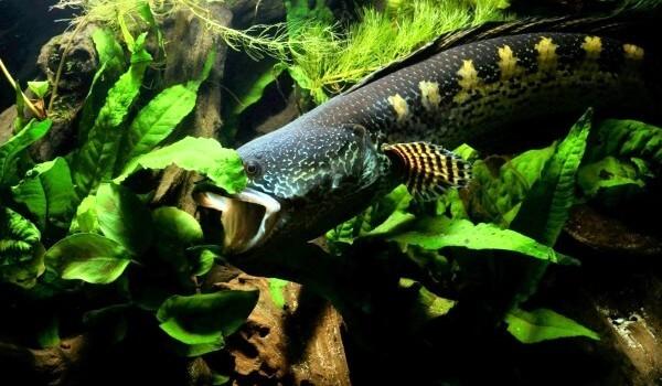 Фото: Змееголов под водой