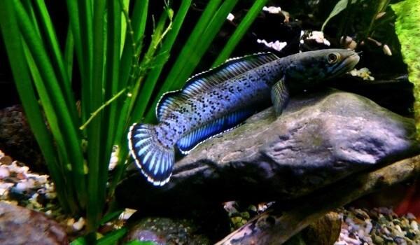 Фото: Рыба змееголов