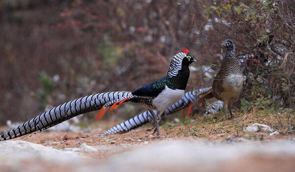 Фото: Алмазный фазан