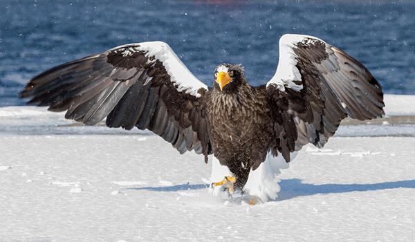 Фото: Белоплечий орлан