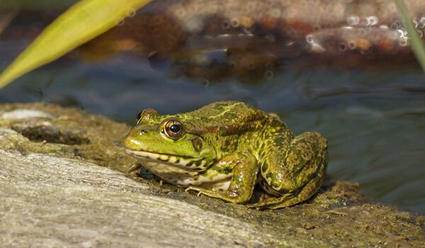 Фото: Озерная лягушка