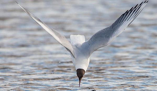 Фото: Озерная чайка