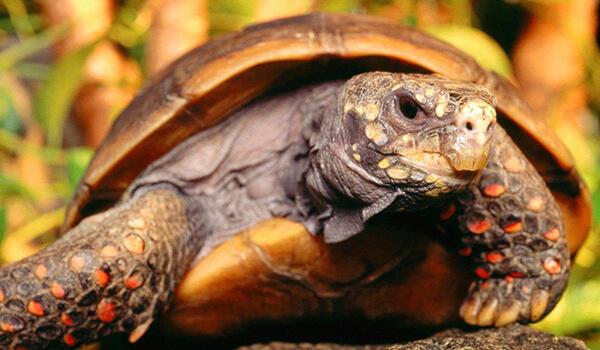 Фото: Угольная черепаха
