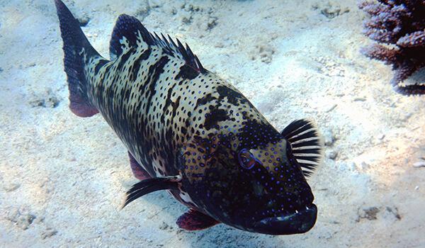 Фото: Рыба групер