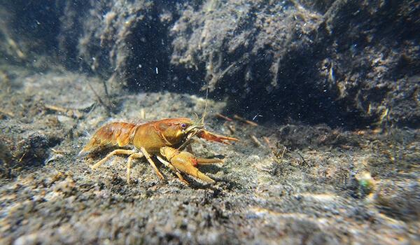 Фото: Широкопалый речной рак в воде