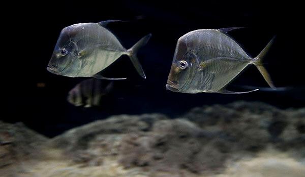 Фото: Рыба вомер в воде