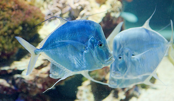 Фото: Рыба вомер