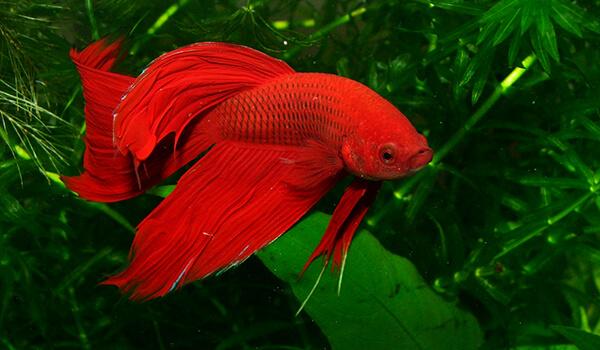 Фото: Красная рыба петух