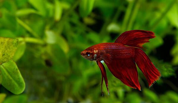 Фото: Рыба петух