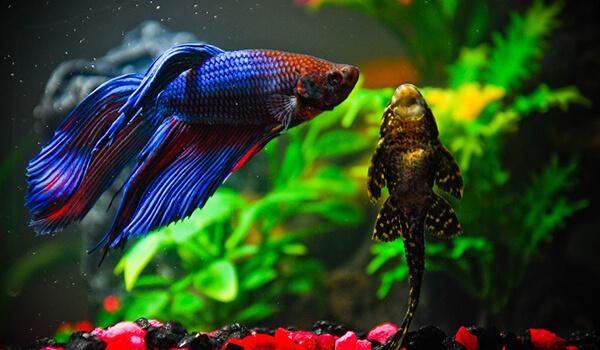 Фото: Рыба петух из Красной книги