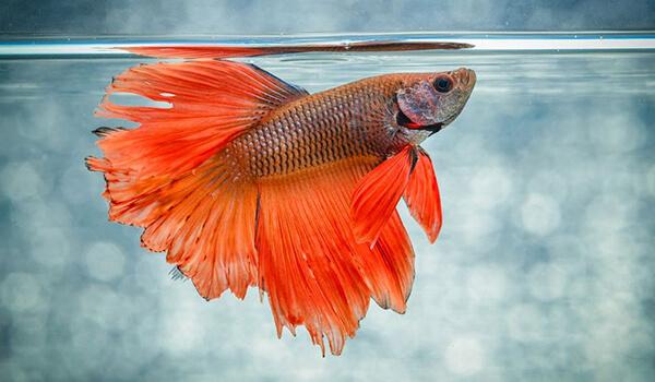 Фото: Самка рыбы петуха