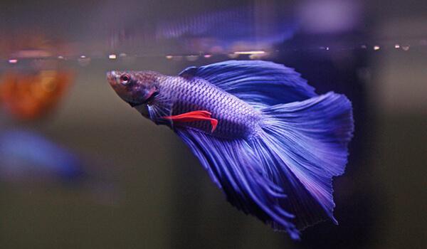 Фото: Черноморская рыба петух