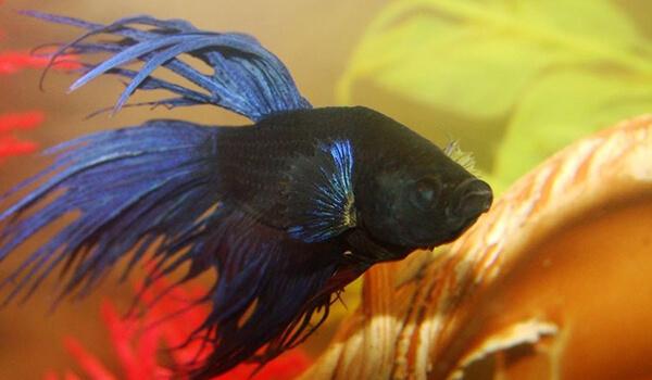 Фото: Черная рыба петух