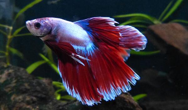 Фото: Как выглядит рыба петух