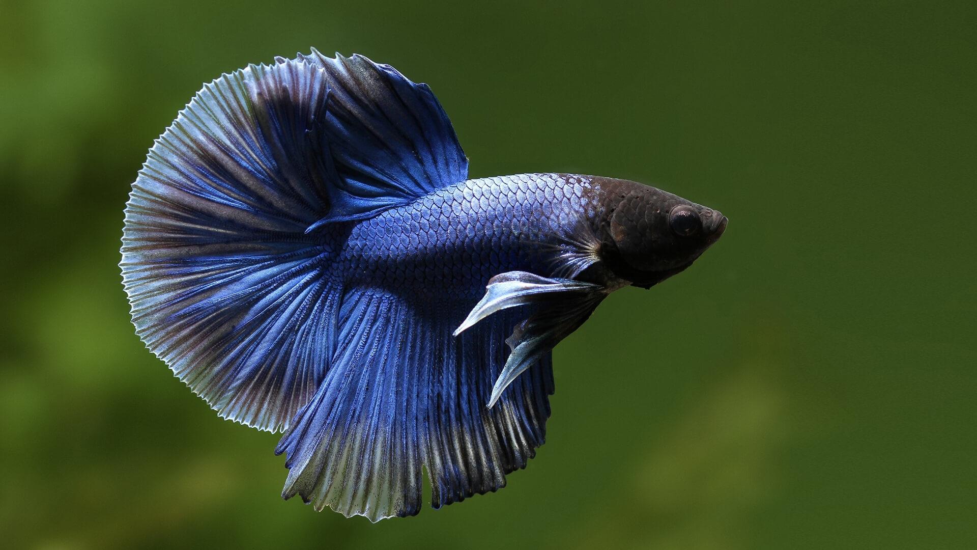 Рыба петух 🌟 Фото, описание, ареал, питание, враги ✔