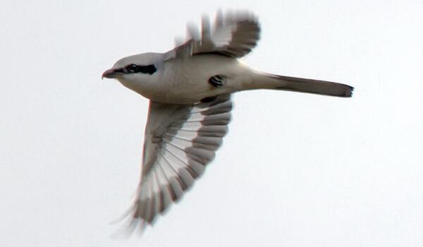 Фото: Серый сорокопут в полете