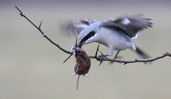 Фото: Птица серый сорокопут