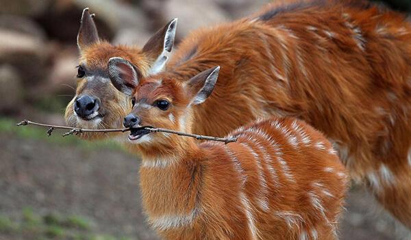 Фото: Ситатунга, или болотная антилопа
