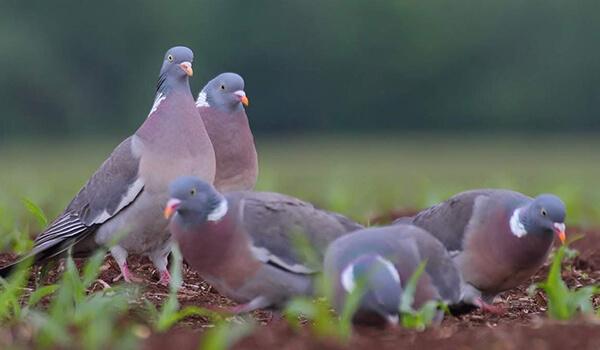 Фото: Птицы вяхирь