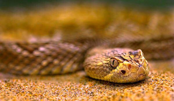 Фото: Песчаная змея эфа