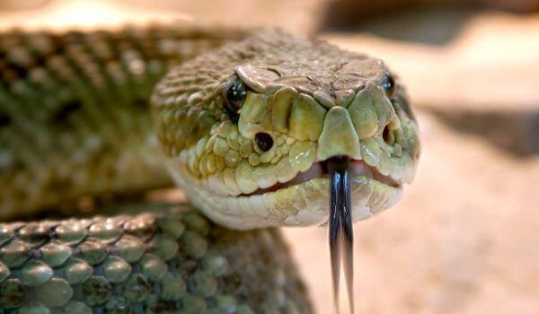 Фото: Как выглядит змея эфа