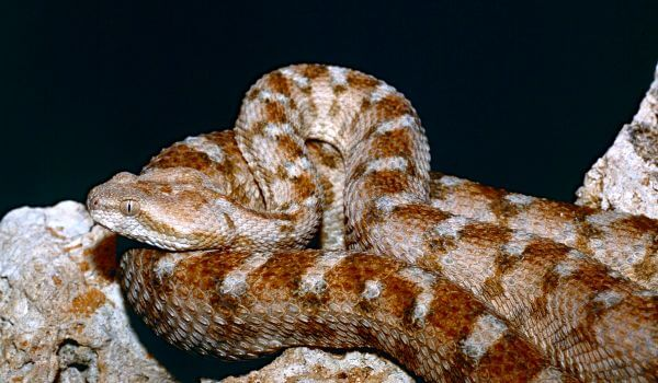 Фото: Змея эфа