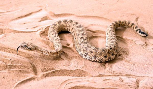 Фото: Змея эфа в пустыни