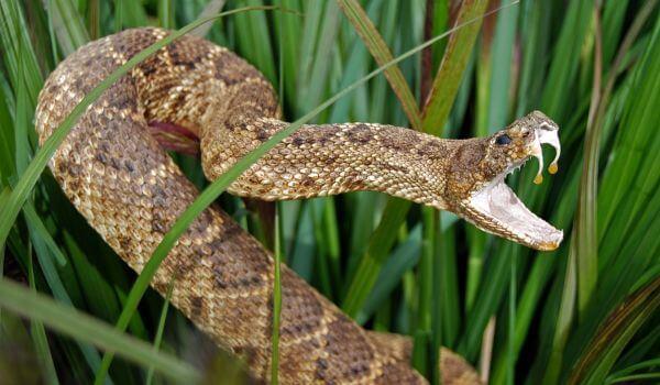 Фото: Ядовитая змея эфа