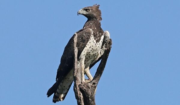 Фото: Коронованный, или венценосный орел