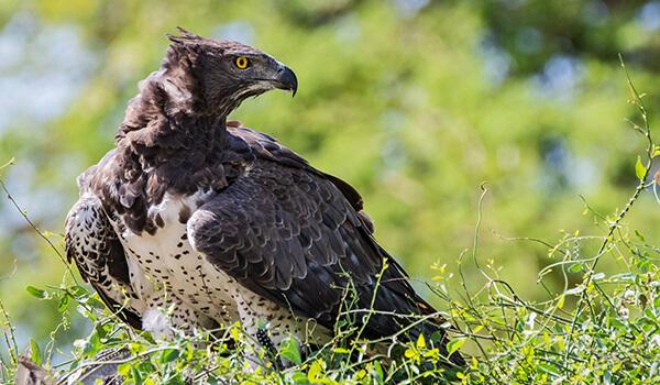 Фото: Коронованный орел в Африке