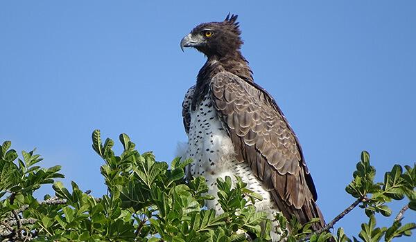 Фото: Как выглядит коронованный орел