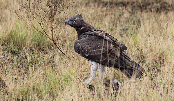 Фото: Коронованный орел в природе