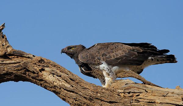 Фото: Коронованный орел