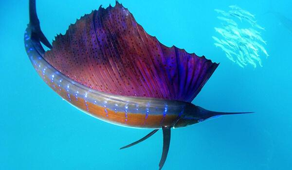 Фото: Рыба парусник
