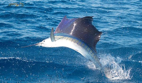 Фото: Быстрая рыба парусник